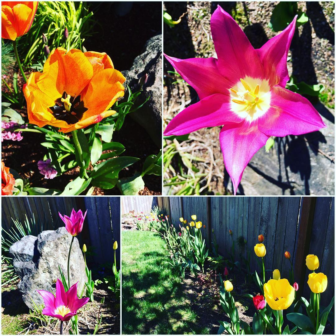 My beautiful tulips are finally blooming!