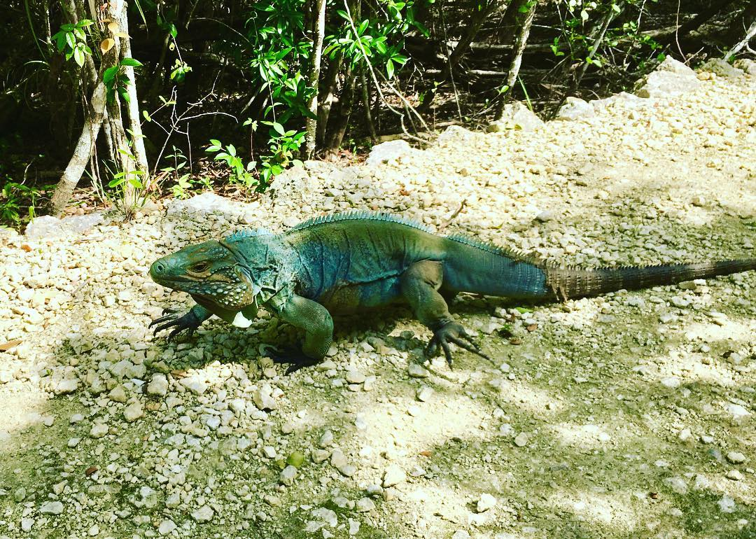 I made a friend with an enormous blue iguana today!