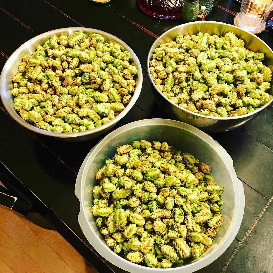 Hop harvest from our backyard vines!