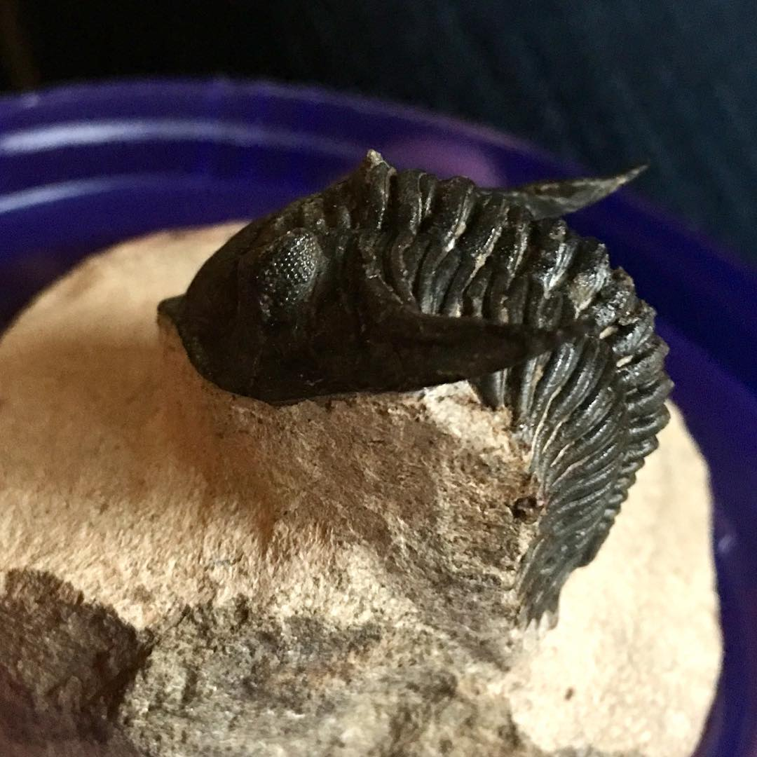 Erik got me this insanely amazing trilobite fossil for anhellip